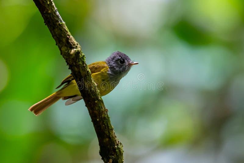 栖息在栖息处的微小的白发金丝雀捕蝇器调查距离 库存图片