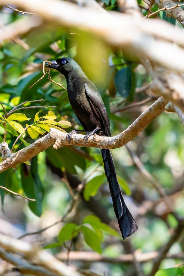 栖息在栖息处的球拍被盯梢的Treepie在森林里,当拿着在额嘴时的棍子 免版税库存照片