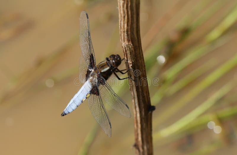 栖息在植物词根的一惊人的男性宽广有驱体的追赶者Libellula depressa在池塘中间 库存图片