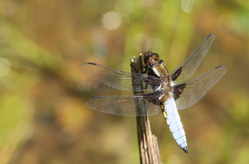 栖息在植物词根的一惊人的男性宽广有驱体的追赶者Libellula depressa在池塘中间 免版税图库摄影