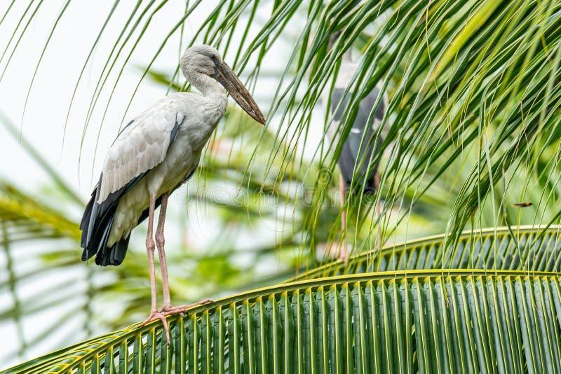 栖息在椰子叶子的亚洲openbill鹳调查距离 库存图片