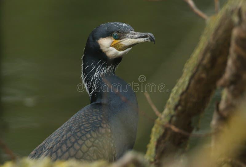 栖息在河上的一棵树的俏丽的鸬鹚鸬鹚羰的顶头射击 库存照片