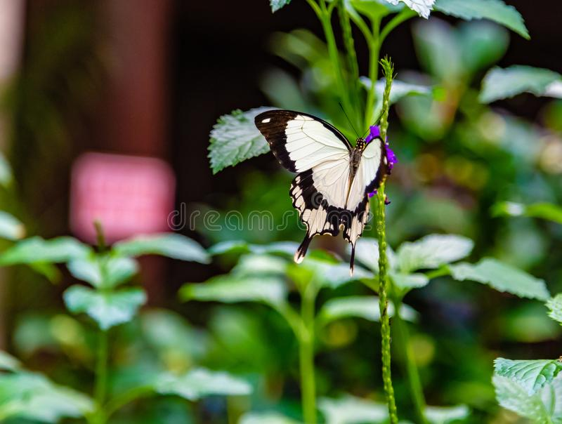 栖息在灌木的飞行手帕或非洲swallowtail蝴蝶 免版税库存图片