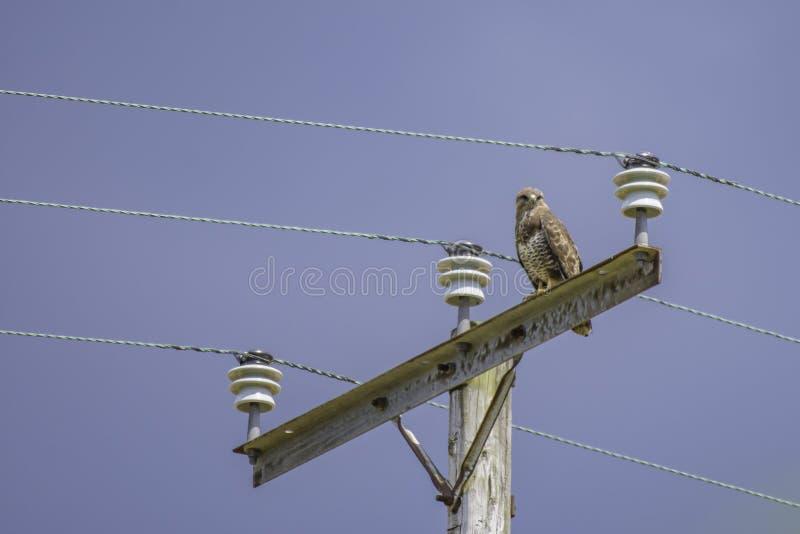 栖息在电定向塔的肉食 免版税库存照片