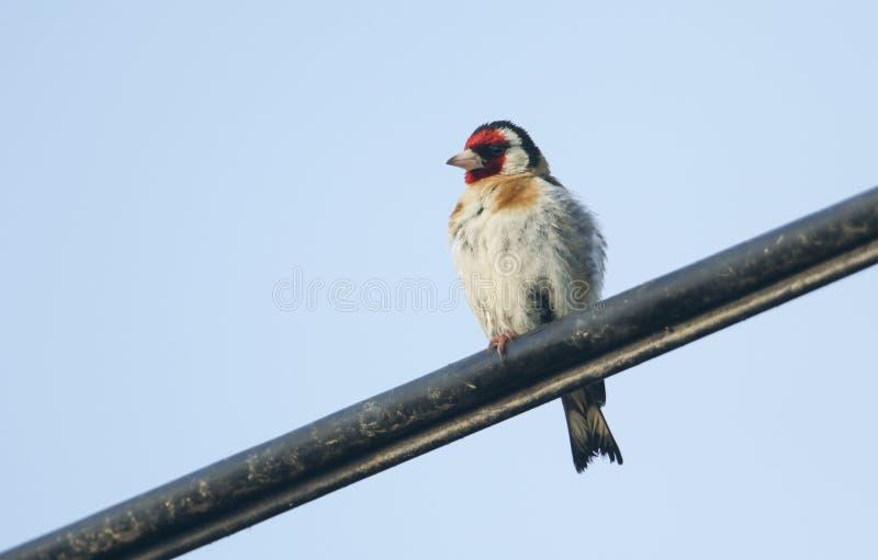 栖息在缆绳的一美丽的金翅雀Carduelis carduelis反对蓝天 库存照片