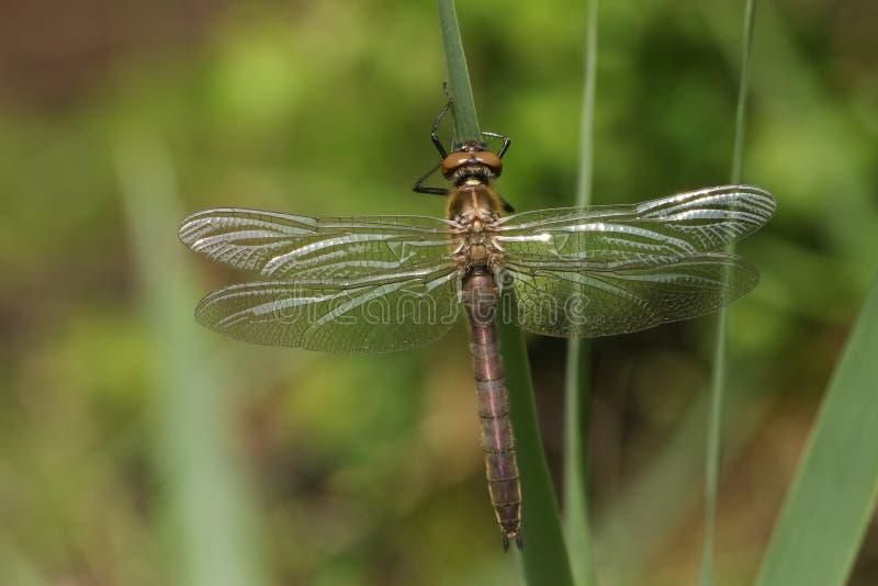 栖息在芦苇的一惊人的罕见的最近新兴柔软的鲜绿色蜻蜓Cordulia aenea 库存图片