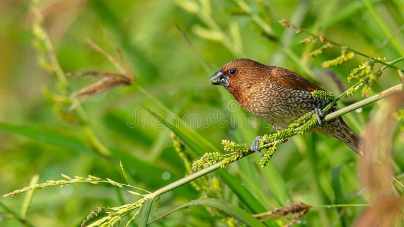栖息在草茎和哺养在它的种子的鳞状Breasted Munia 库存照片