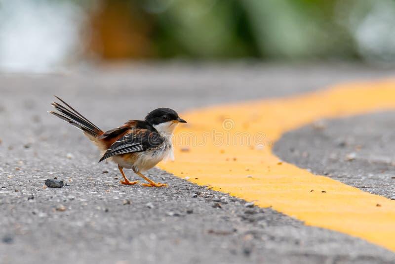 栖息在路旁的支持红褐色的Sibia发现飞行的白蚁在雨前 库存照片