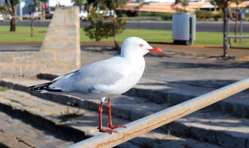栖息在铁路轨的精制的白色海鸥在出海口。 免版税图库摄影