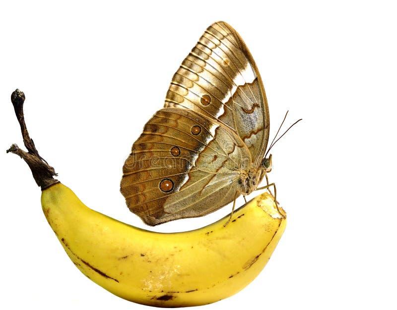 栖息在香蕉果子,柬埔语Junglequ的美丽的蝴蝶 免版税图库摄影
