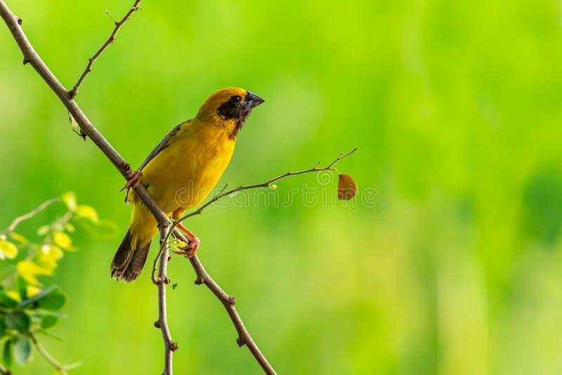 栖息在马尼拉罗望子树分支的聪慧和淡黄色男性亚裔金黄织布工,调查距离 库存照片