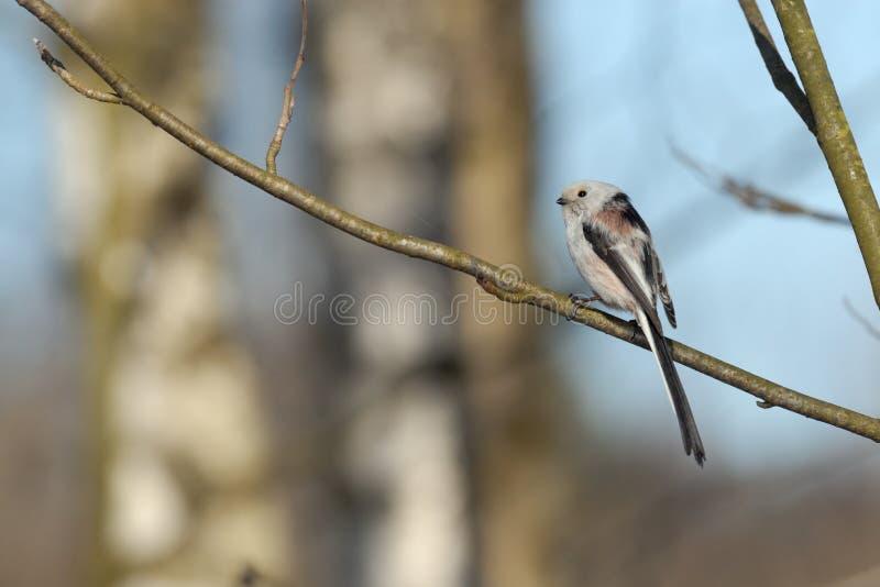 栖息长尾的山雀侧视图在桦树森林里 库存图片