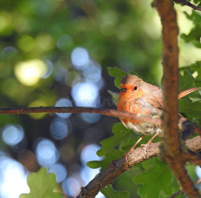 栖息高在树上面的小知更鸟 免版税库存照片