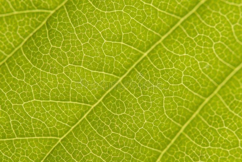 栗子叶子特写镜头有充分的框架植物细胞的 免版税库存图片