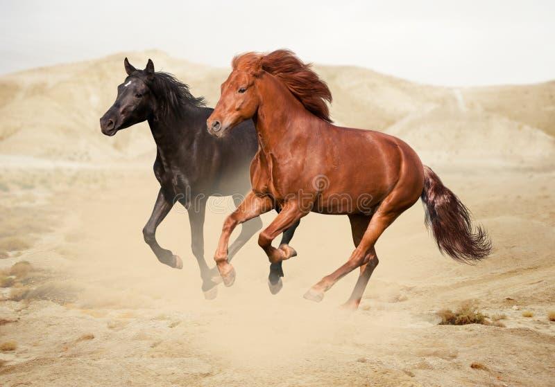 栗子和黑色马在沙漠 库存照片