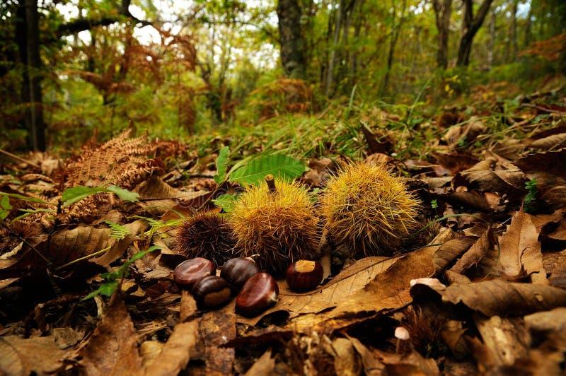 栗子在一个森林里在托斯卡纳,意大利 秋季 免版税库存照片