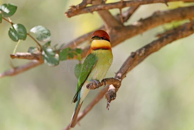 栗子带头的食蜂鸟食蜂鸟属leschenaulti 免版税图库摄影