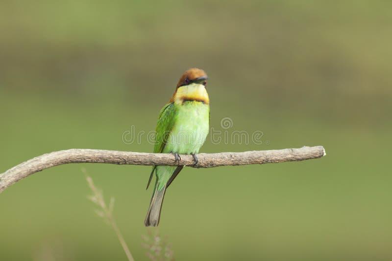 栗子带头的食蜂鸟饲养 免版税库存照片