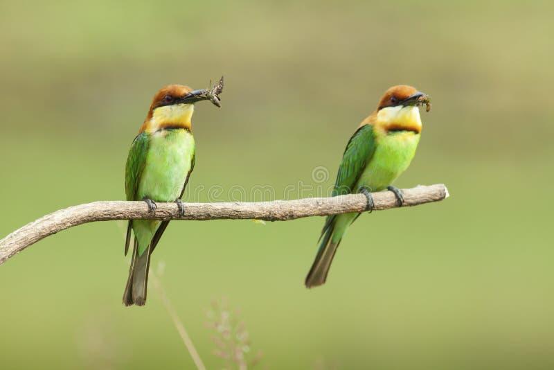 栗子带头的食蜂鸟饲养 库存照片