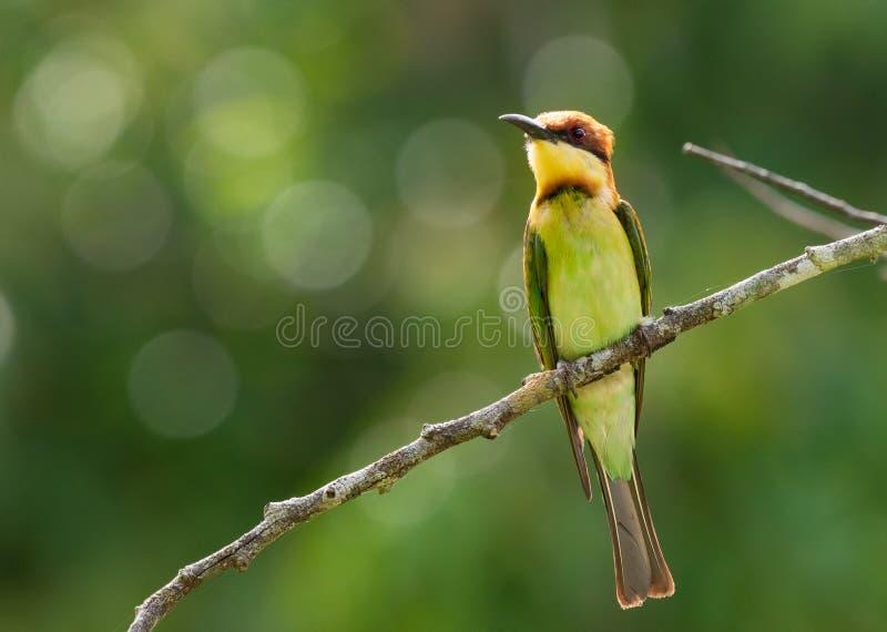 栗子带头的食蜂鸟,一只绿色鸟在分支栖息有自然,绿色森林背景 免版税库存照片