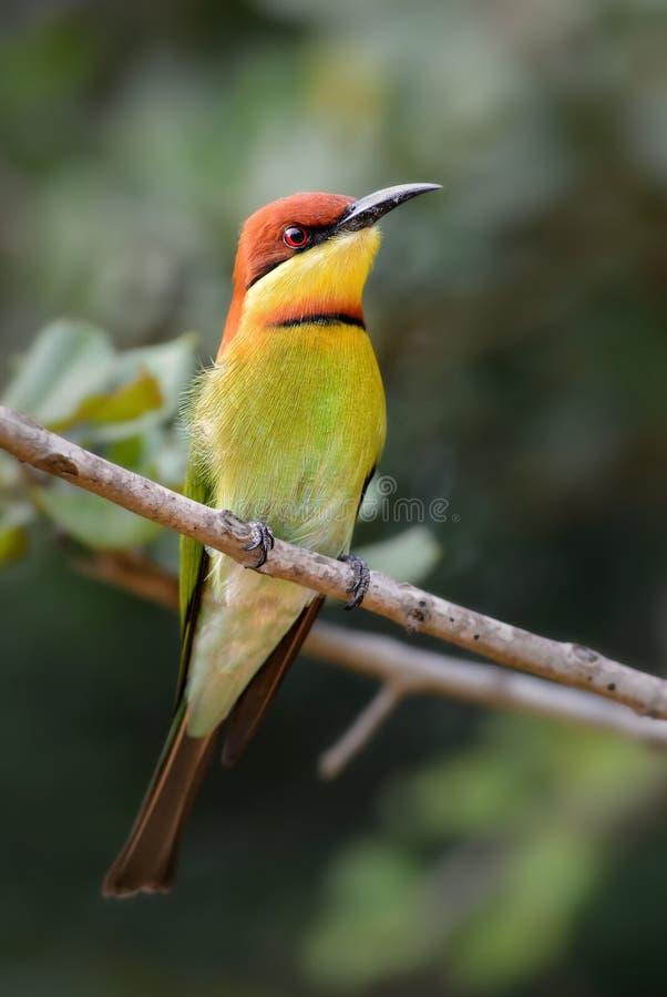 栗子带头的食蜂鸟-食蜂鸟属leschenaulti 免版税库存照片