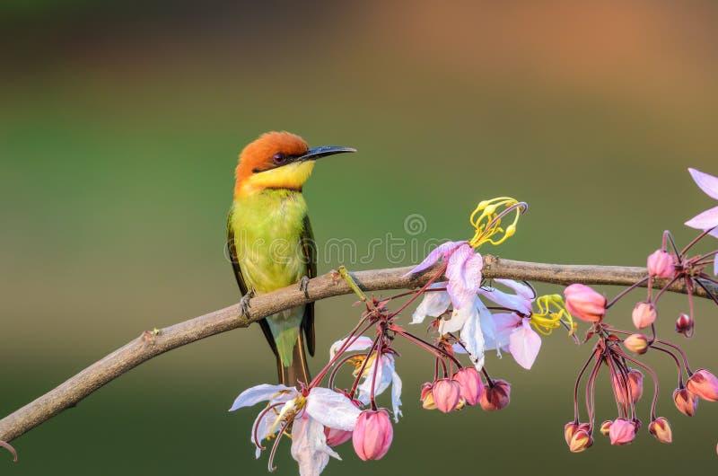 栗子带头的食蜂鸟或食蜂鸟属leschenaulti 库存图片