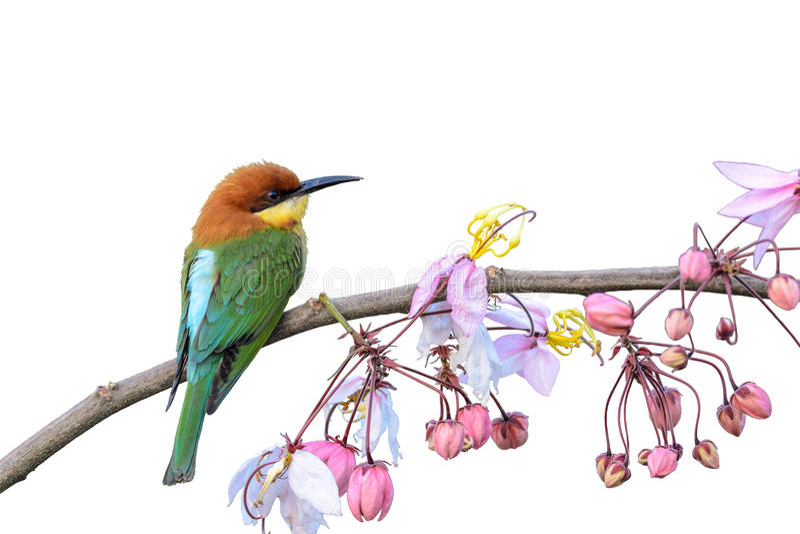 栗子带头的食蜂鸟或食蜂鸟属leschenaulti 免版税库存图片