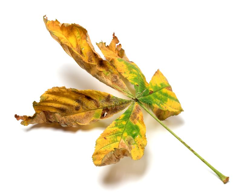 栗子干燥多色秋天叶子  免版税库存图片
