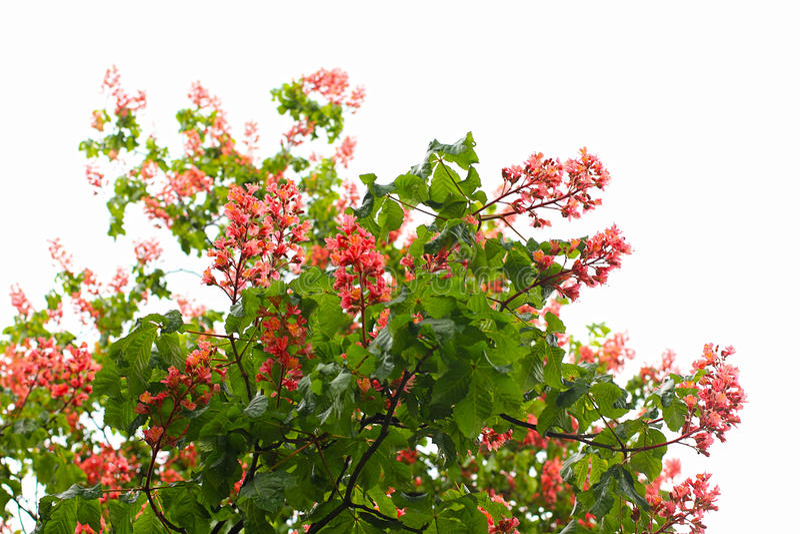 栗子开花红色结构树 免版税库存照片