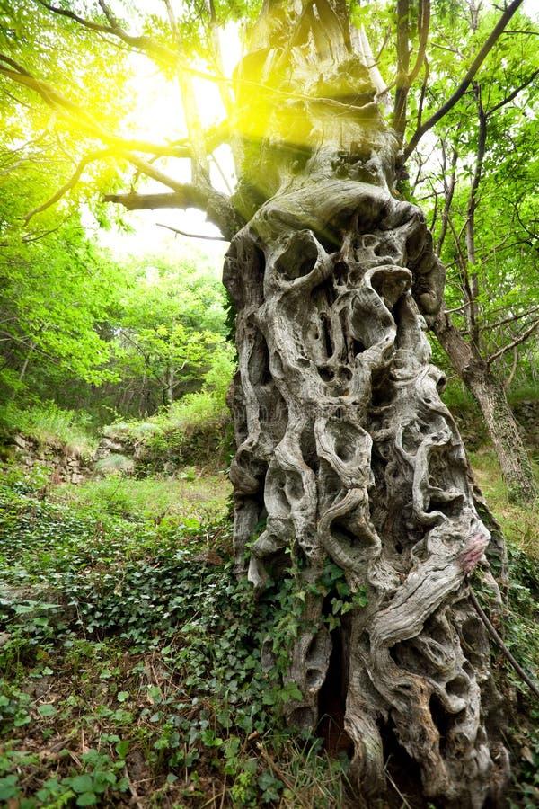 栗子甜树干 库存图片