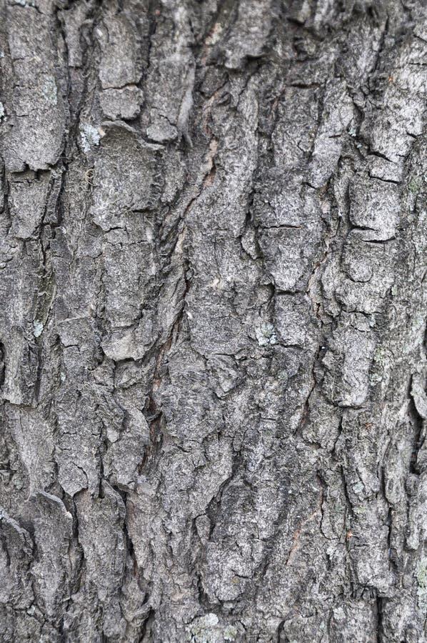 栗子纹理背景的树皮 免版税库存照片
