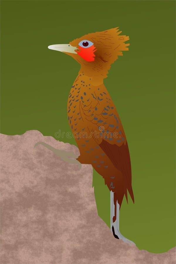 栗子色啄木鸟 库存照片