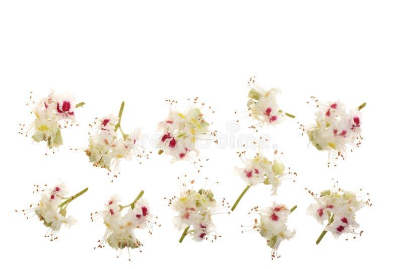 栗子花或七页树属hippocastanum,在与拷贝空间的白色背景隔绝的七叶树果实您的文本的 免版税库存图片
