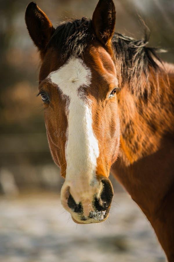 栗子马头与白色小条的在前额 库存图片