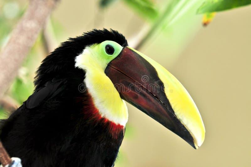 栗子mandibled toucan 免版税库存图片