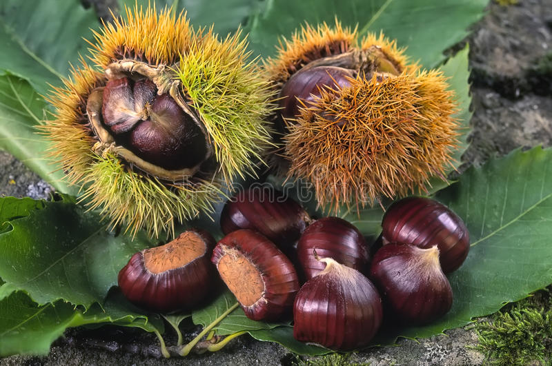栗树欧洲栗木、果子& x28; 栗属sativa& x29; 库存照片