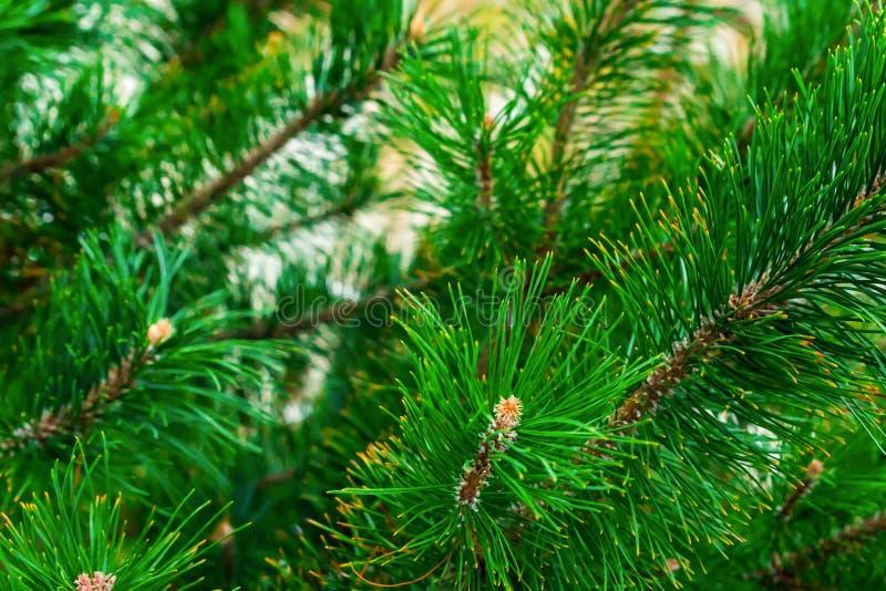 样式绿色豪华的枝杈云杉植物生长的背景设计自然土气网基地圣诞节拷贝空间 免版税图库摄影
