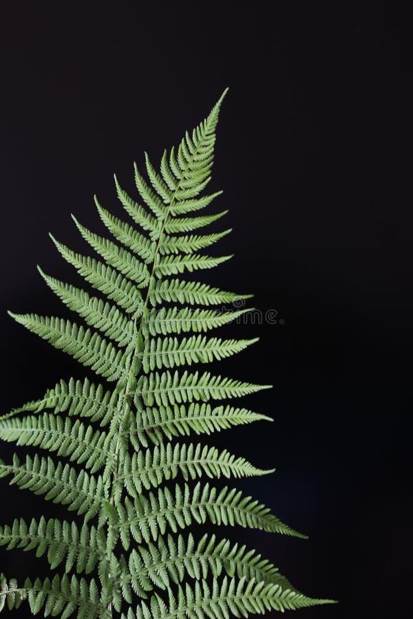 样式自然在黑背景的蕨分支 库存图片