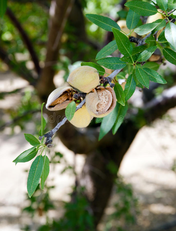 核桃坚果树农厂农业食物生产果树园加利福尼亚 库存图片