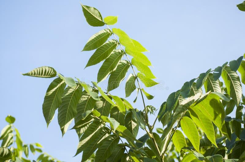 核桃夏令时特写镜头在阳光下在背景中分支与绿色叶子与蓝天 免版税库存照片