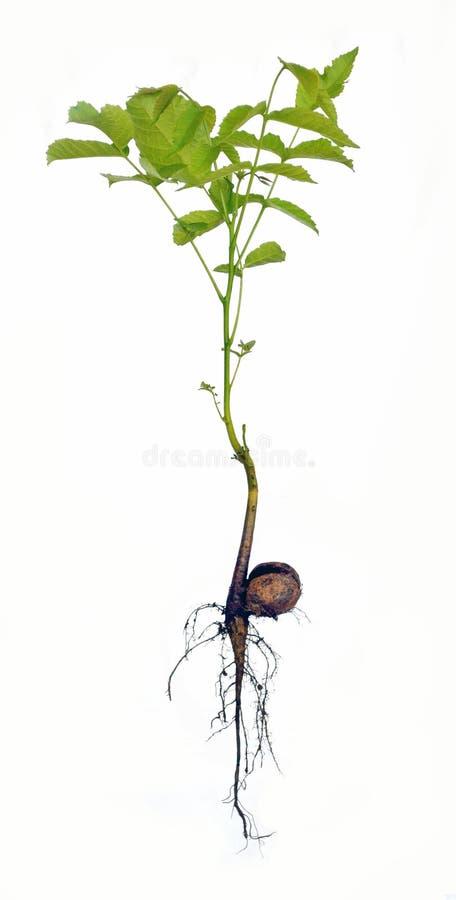 核桃幼木,胡桃 库存照片
