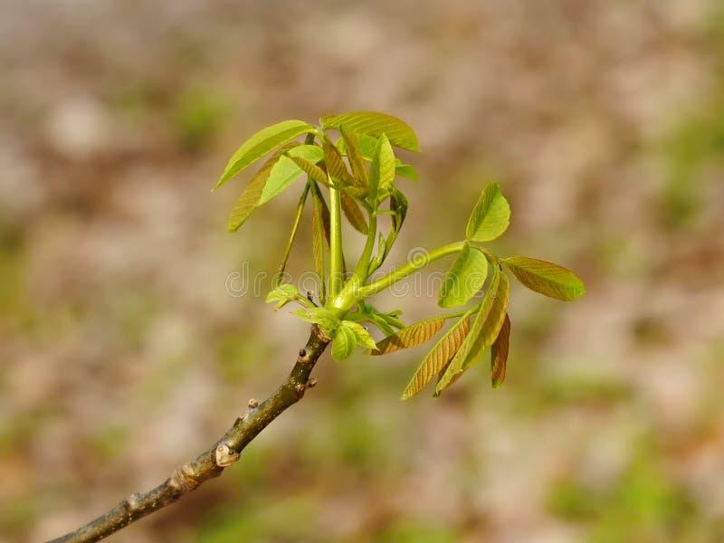 核桃树年轻春天叶子. 宏指令, 叶子.