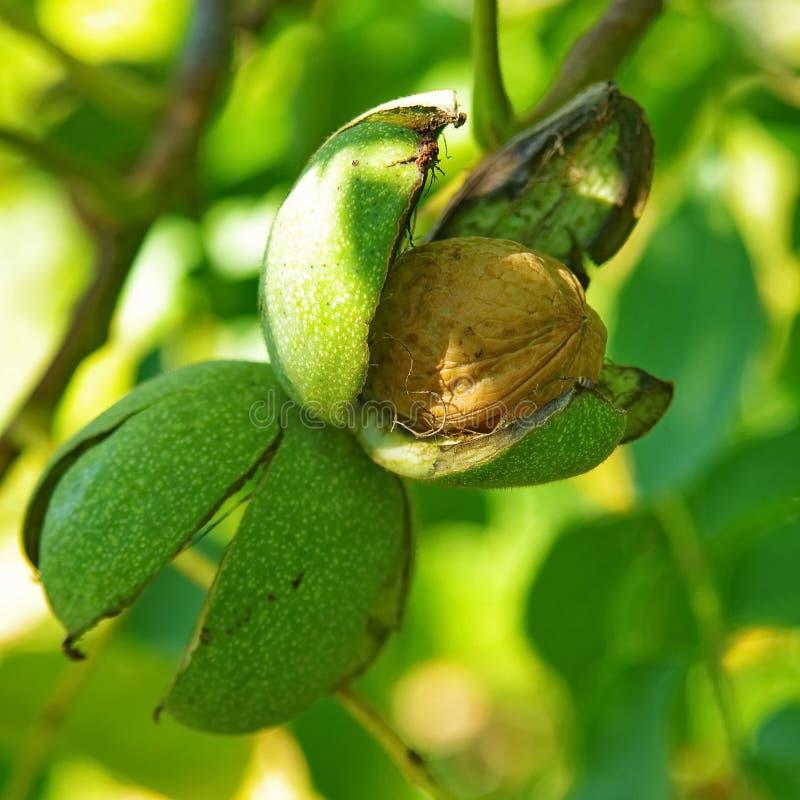核桃树2的成熟坚果 免版税库存图片