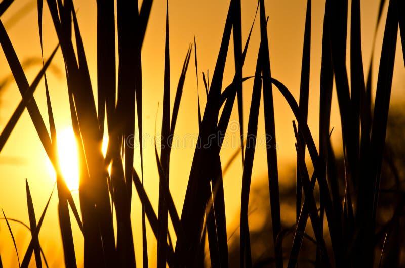 根据清早日出现出轮廓的领域草 库存照片