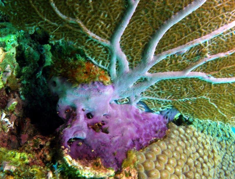根据珊瑚风扇 免版税库存照片