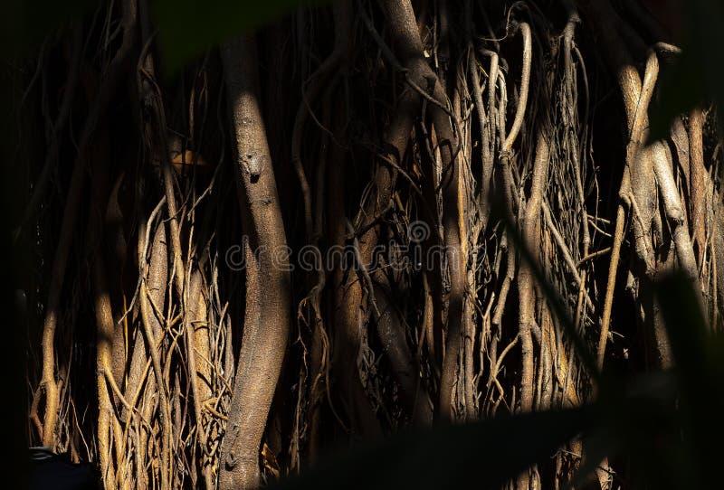 根源结构树 巨大的树干和大被暴露的根 免版税库存图片
