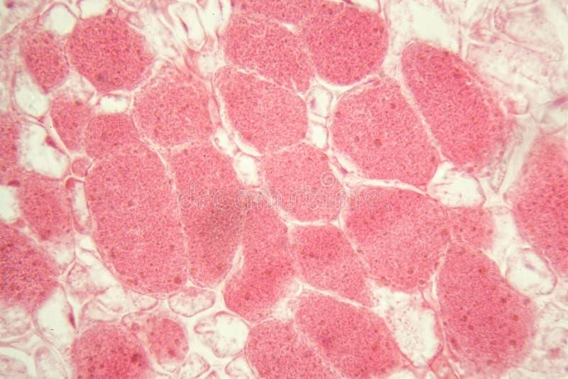 根细菌根瘤在显微镜下 免版税库存图片