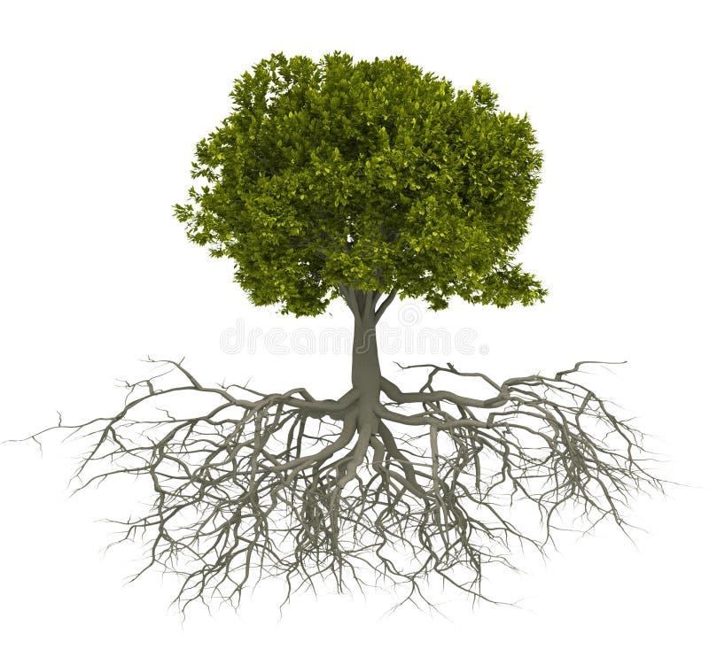 根结构树 图库摄影