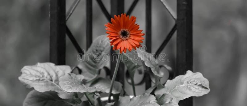 格伯与颜色流行音乐的雏菊花  库存照片
