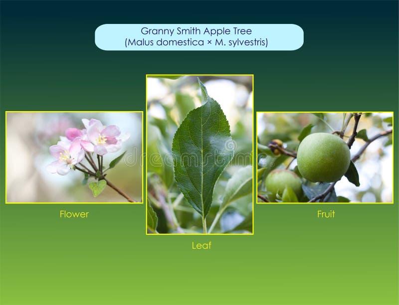 格兰尼史密斯苹果苹果树 图库摄影